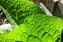 Herbs: Comfrey