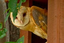 Barnes owl
