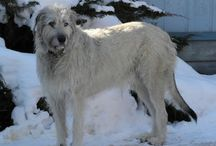 Irish wolfhounds / The Irish Wolfhound is a giant-sized dog, one of the tallest breeds in the world, reaching the size of a small pony. / by Gayle Trent