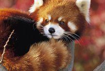 Mammals | Red Panda / by Nicolas Rix