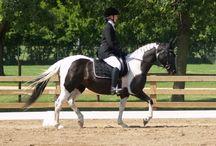 Le Pintabian / Développée très récemment dans les année 1980, le Pintabian est un tout simplement un cheval Arabe qui porte une robe pie, en effet, le Stud Book de ce dernier refuse cette robe mélangée, alors pour palier à cette restriction, la race a alors été créée en croisant l'Arabe avec un Pinto afin d'y introduire le gène pie. Non contents de ce résultat, les éleveurs tentent maintenant d'obtenir un cheval qui aurait 99% des caractéristiques de l'Arabe mais qui conserverait la robe Pie.
