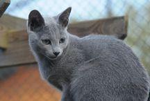 Le chat bleu russe / Caractérisé par sa couleur bleue argentée et par ses yeux verts, le bleu russe est un chat qui nous éblouit par son élégance et sa grâce.