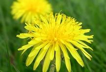 Dandelion - Taraxacum officinale - Pampeliška lékařská / Pampeliška lékařská (kořen pampelišky) a přírodní produkty pro zdraví a krásu s pampeliškou. V Essens se přidává do Aloe vera koncentrátu.