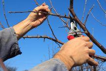 Fák metszése