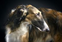 Borzoi - Russian hound