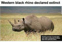 Western BlackRhino - Extinct as of the 8 November 2013