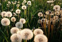 Dandelions and Other Ways to Amuse The Wind / Amuse the Wind the calm the elements and sooth my soul. Things that dance or blow in the wind: balloons, seeds, clouds.