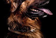 Perros pastor alemán