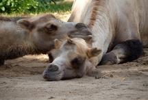 Camel / by Susanne Cramer