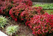 Nandina - Heavenly Bamboo