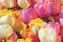Tulips and Sunflowers