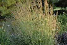 Drought Tolerant/Waterwise Ornamental Grasses