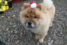 Pets at Riverside / We are pet friendly self catering accommodation. Our Chow Chow Rowan loves it here and loves to welcome new friends! we also love to see pictures of furry family having fun at Riverside, Please share your photos with us at enquiries@riversidelodge.org.uk