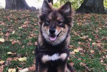 Kahla - Finsk Lapphund