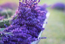 lavender sessions / photo, lavender, kids,