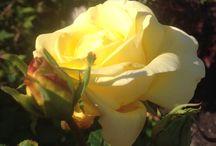Gult i hagen / Blomsterinspirasjon