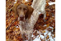 My dog / Bracco tedesco/German short haird pointer