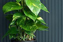 Kamerplant / Kamerplanten voor een donker huis. Soorten en onderhoud.