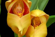 *** Anguloa *** / Please follow this group board and we'll add you. Thanks for sharing your Anguloa Orchid pins.  www.southeastorchidsocietyuk.org  Anguloa  #orchid #orchids #orchideceae #anguloa #love #orchidee #orchideen #garden #gardening #gardens #plant #plants #nature