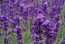 Plants that repel bees, wasps & insects