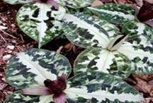 PDN Trilliums