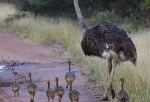 Avestruz seriema patos e jaçanã