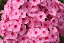 De roze tuin