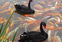 Animals:Swan (Black & White)