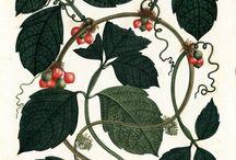 ilustración taxonómica