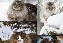 Norvegian Cats