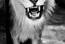 Lion / The lord of the Animal Kingdom