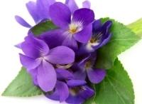 violet February flower