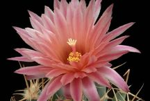 Amazing Cacti / Cactus and their flowers