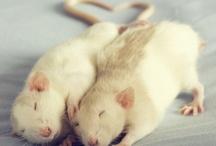 Rats ♥♡♥