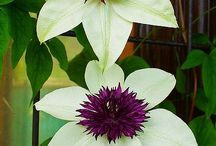 Clematis & passion flowers