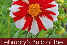 Florissa's Bulb of the Month Draw!
