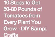 Tomat planter