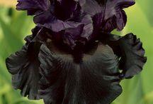 Iris - Kosatce