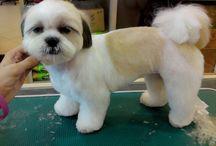 shitzu haircut