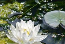 Where the Water Lilies Grow