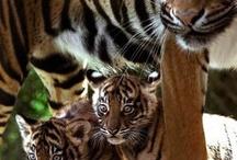 Tiger & co.