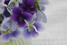 Viola~waiporoporo