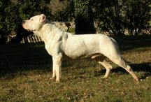 Dogo argentino and Bull terrier