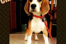 My Champ - Gorgeous Beagle