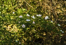 Roses / Wild roses and garden roses