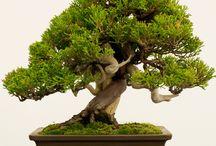 Bonsai / O pestovaní bonsaiov