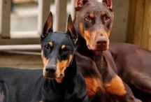 Dog dobermann