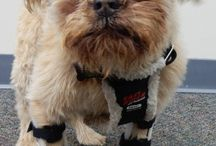 Carpal Braces for Dogs / My Pet's Brace fabricates front leg wrist braces for paw knuckling, radial nerve injury, carpal collapse, hyperextension and other conditions.  Custom braces support and protect the dog's leg which helps them walk in a more functional position while reducing their pain.