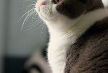 Brit macskák