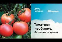томатое изобилие